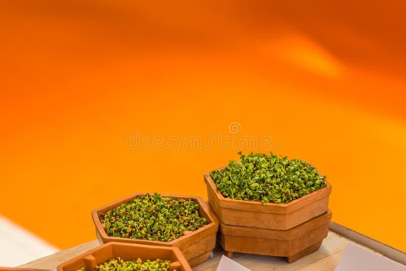 Lanzamientos del verde en potes imagen de archivo libre de regalías