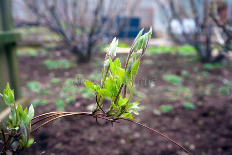 Lanzamientos jovenes de clemátides en jardín verde imágenes de archivo libres de regalías