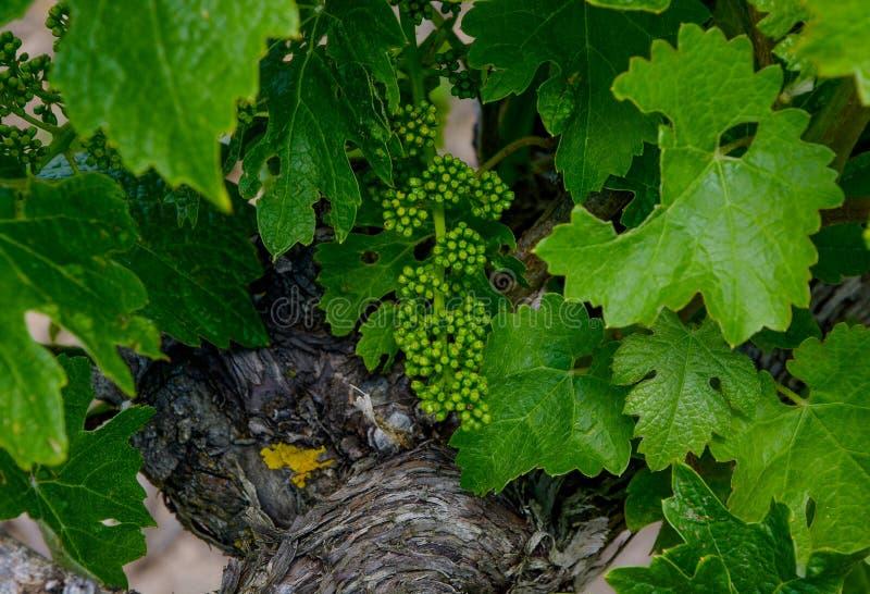 Lanzamientos jovenes de la fruta de la vid, el origen del vino, uvas imágenes de archivo libres de regalías
