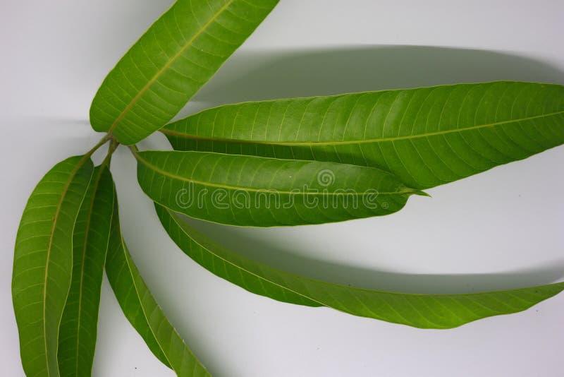 lanzamientos jovenes de la hoja del mango fotografiados en un backgroun blanco imagen de archivo libre de regalías