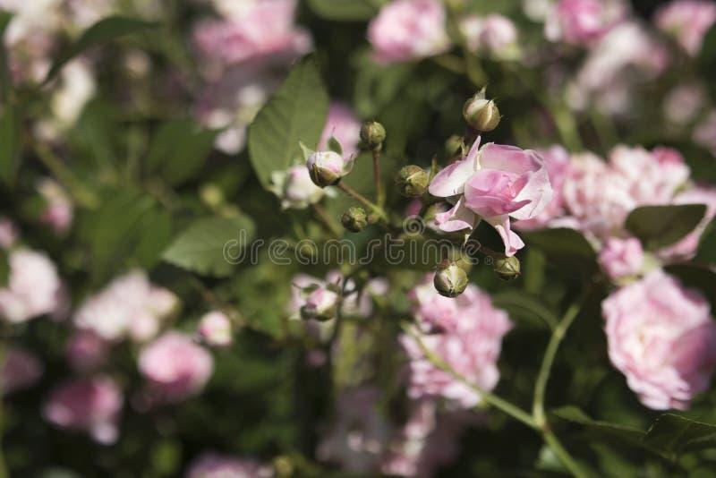 Lanzamientos jovenes de la rosa rosada enana en el jardín en verano con un fondo borroso imágenes de archivo libres de regalías