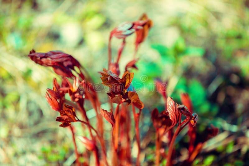 Lanzamientos jovenes de las flores de las peonías imagen de archivo libre de regalías