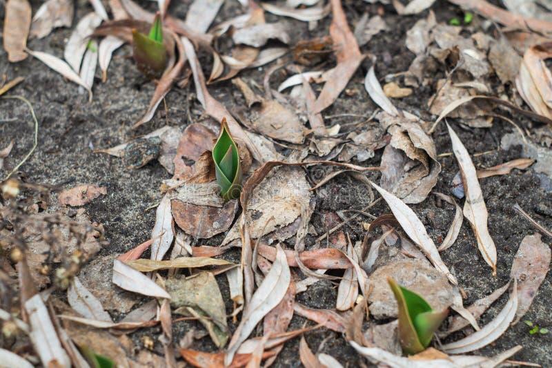 Lanzamientos jovenes de tulipanes en un macizo de flores fotografía de archivo