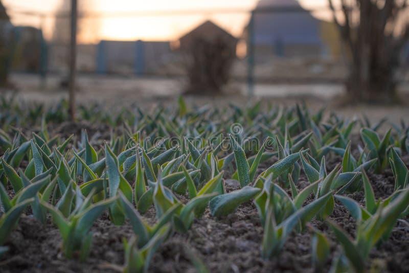 Lanzamientos jovenes de tulipanes fotografía de archivo libre de regalías