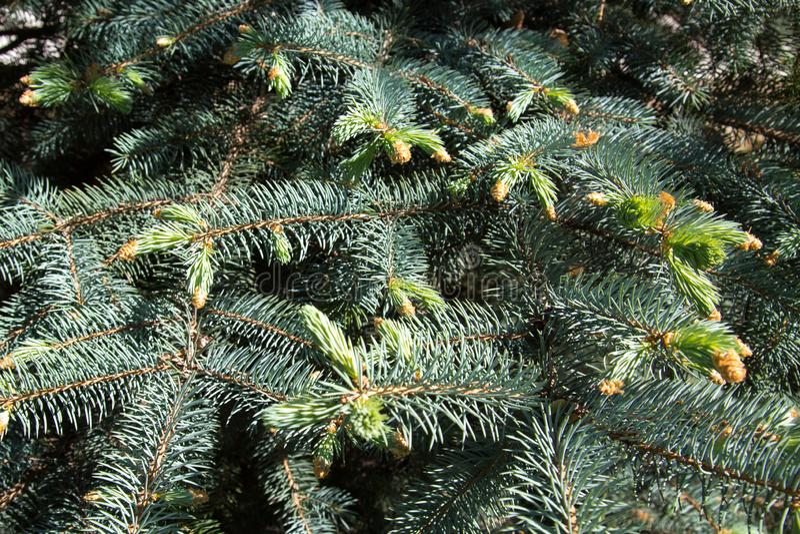 Lanzamientos jovenes en las ramas de la picea azul La naturaleza de la flora del clima templado foto de archivo