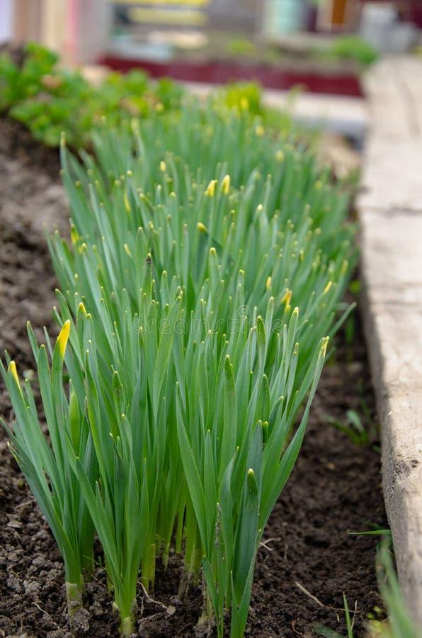 Lanzamientos verdes de flores en el suelo fotos de archivo libres de regalías