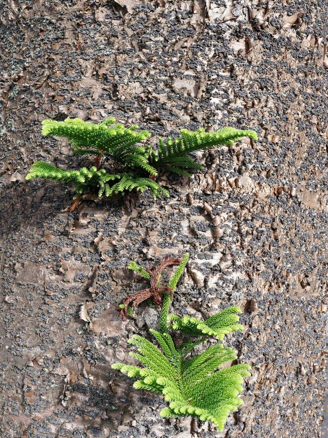 Lanzamientos verdes frescos en árbol de pino de la isla de Norfolk foto de archivo