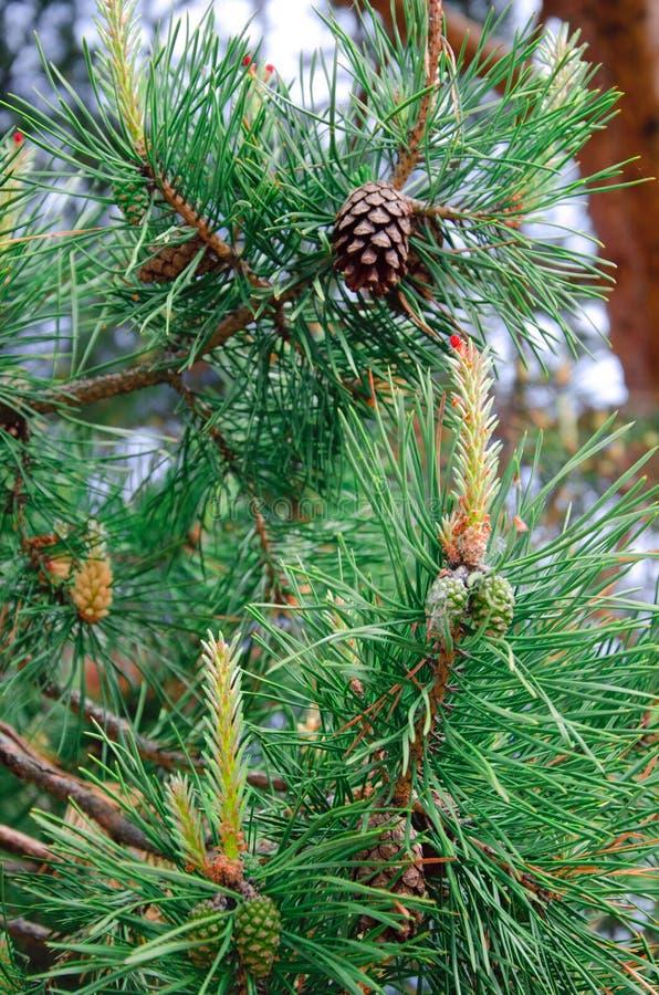 Lanzamientos y conos de un árbol de pino fotos de archivo libres de regalías