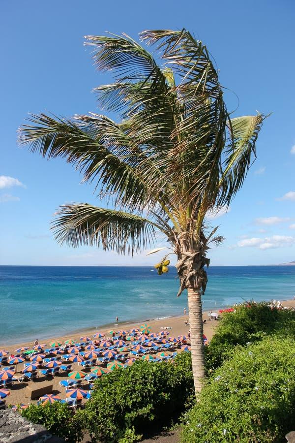 LANZAROTE, KANARIE ISLANDS/SPAIN - 30 JULI: Kokospalm (cocos stock afbeeldingen