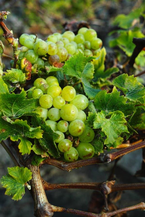 Lanzarote vineyards, La Geria wine region, malvasia grape vine i. Lanzarote vineyards build on lava, La Geria wine region, malvasia grape vine in winter stock images