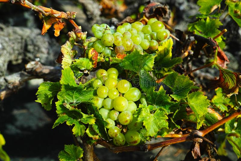 Lanzarote vineyards, La Geria wine region, malvasia grape vine i. Lanzarote vineyards build on lava, La Geria wine region, malvasia grape vine in winter stock photo