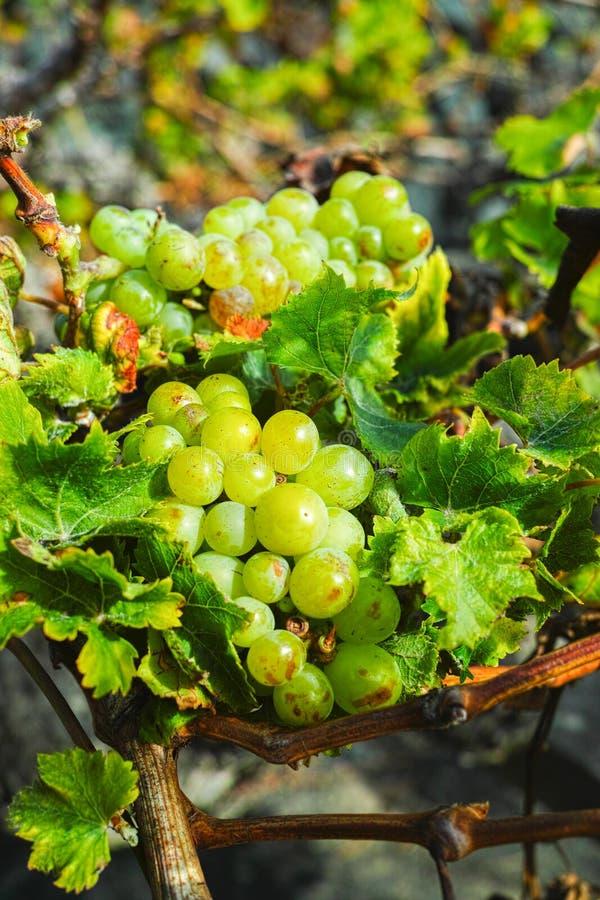 Lanzarote vineyards, La Geria wine region, malvasia grape vine i. Lanzarote vineyards build on lava, La Geria wine region, malvasia grape vine in winter royalty free stock image