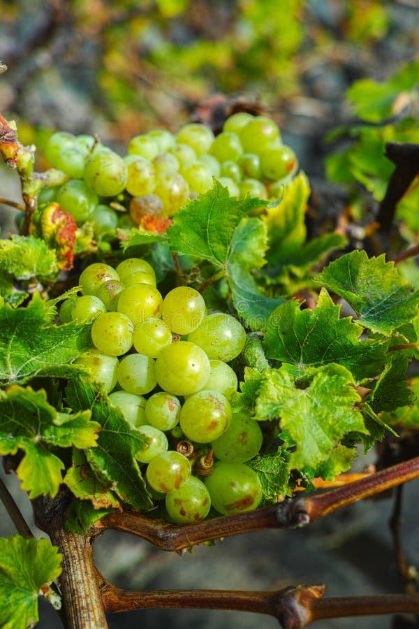 Lanzarote vineyards, La Geria wine region, malvasia grape vine i. Lanzarote vineyards build on lava, La Geria wine region, malvasia grape vine in winter royalty free stock photos