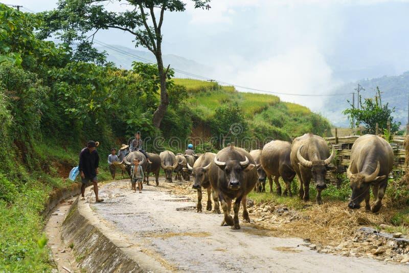 Lao Cai, Vietnam - 7 Sep, 2017: Landweg met waterbuffels die onder terrasvormig padieveld in Y Ty, het district van Knuppelxat na royalty-vrije stock afbeeldingen