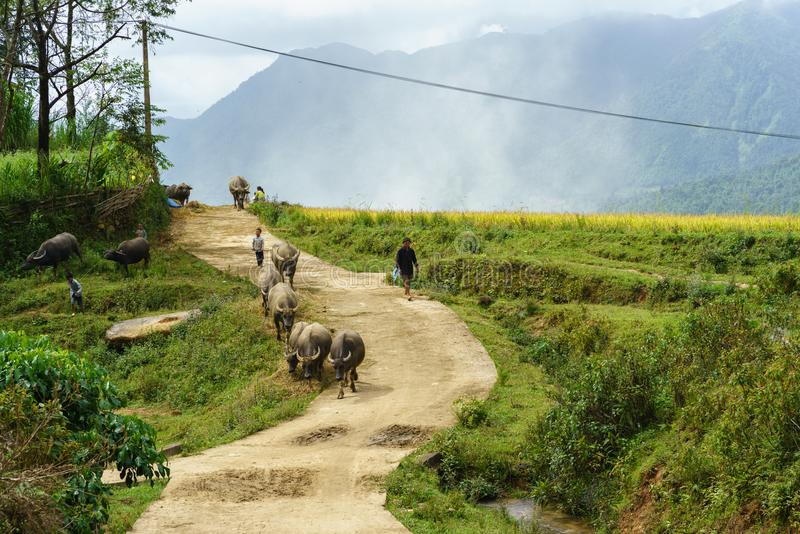 Lao Cai, Vietnam - 7 Sep, 2017: Landweg met waterbuffels die onder terrasvormig padieveld in Y Ty, het district van Knuppelxat na stock fotografie