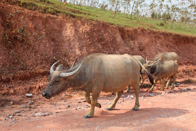 Laos buffel royaltyfri foto