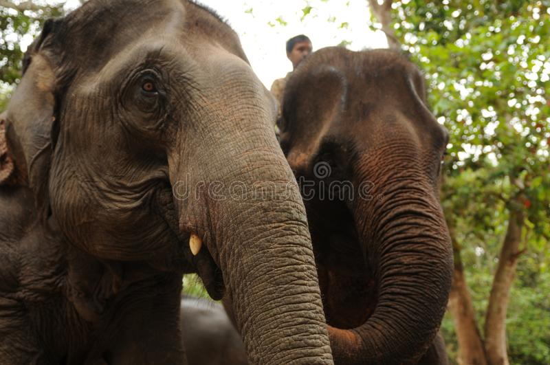 Lao Elephants near Pak Ou Caves royalty free stock images