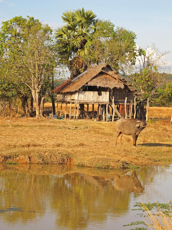 Laos landscape. Water buffalo in the rural landscape of Don Khong island in the South of Laos royalty free stock images