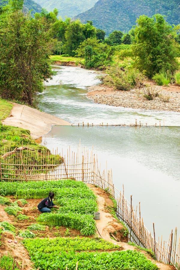 Laotian ung kvinna som skördar vattenkonvolvulusen i trädgården på flodstranden som är lantlig i norr Laos arkivfoton