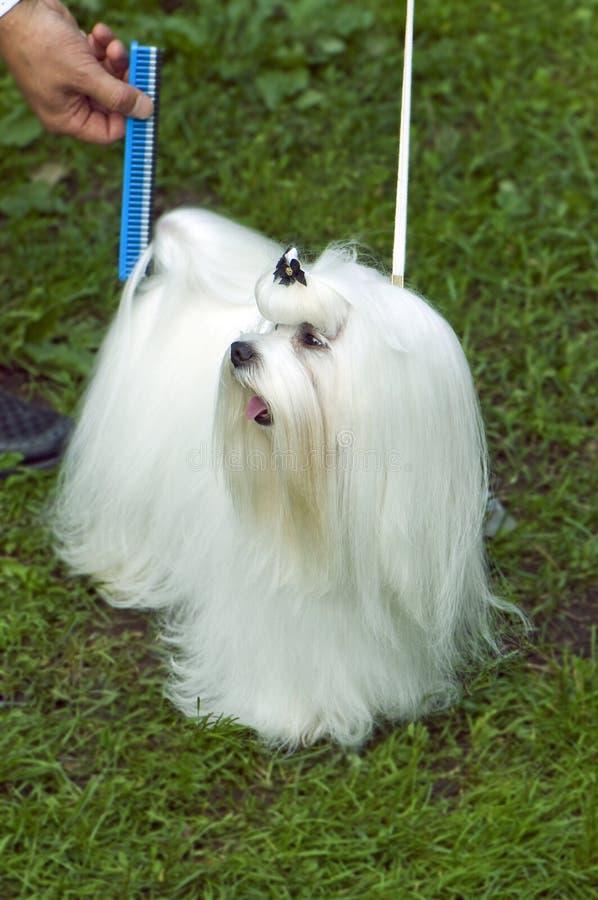 Lap-dog maltês Well-groomed imagem de stock