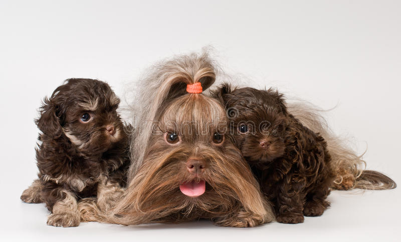 Lap Dog With Puppies Royalty Free Stock Photo