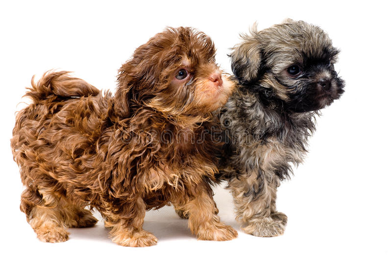 Download Lap-dogs in studio stock image. Image of pets, puppy - 11609935