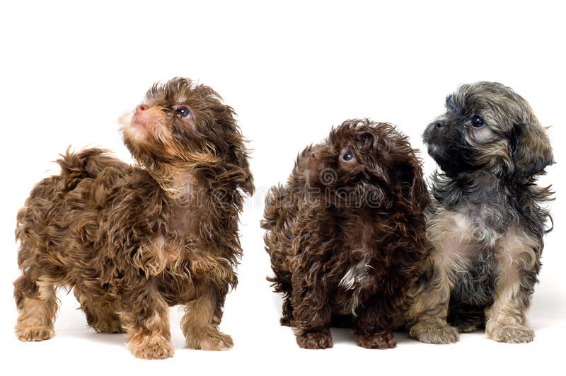 Download Lap-dogs in studio stock image. Image of canine, lovable - 11609939