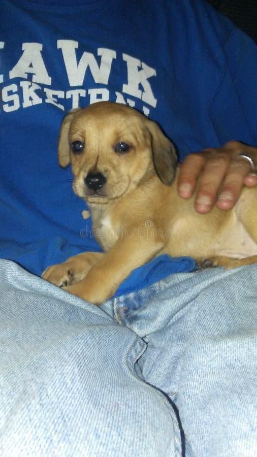 Lap Puppy fotos de stock royalty free