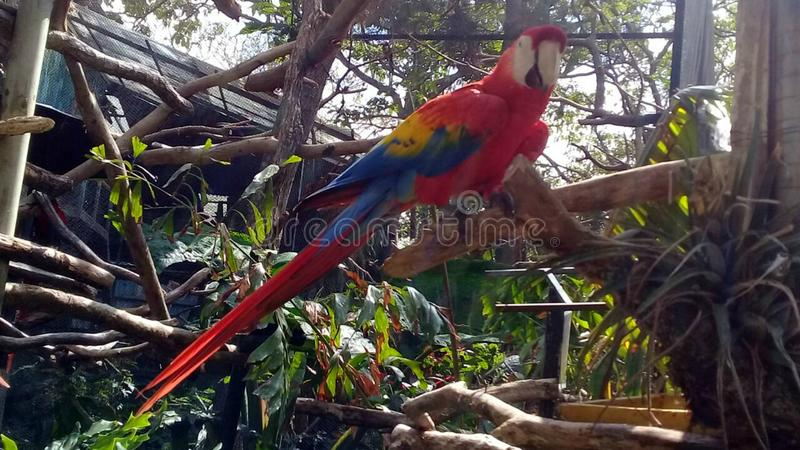 Lapa of costa rica royalty free stock photography