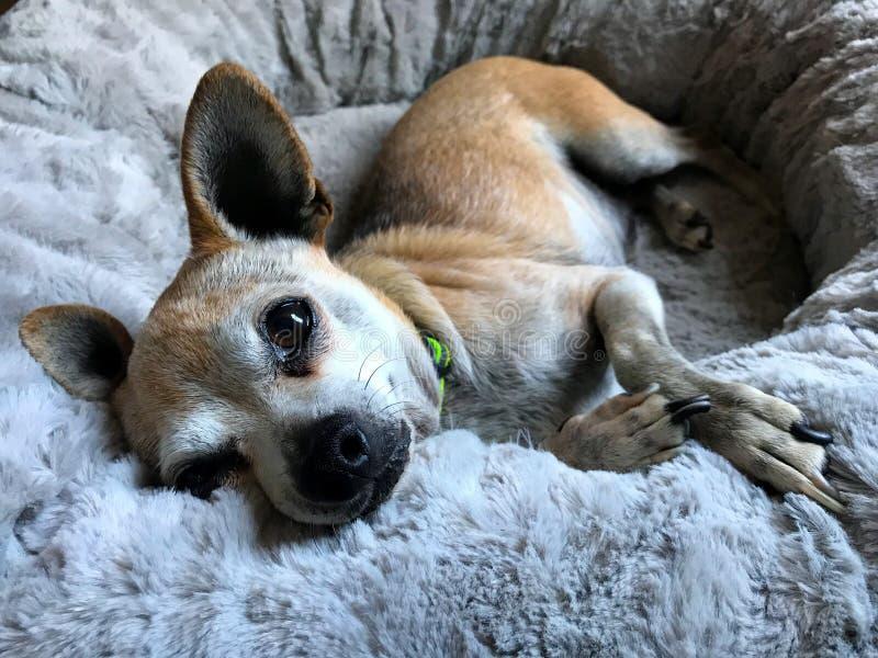 Lapdog relaxing royalty-vrije stock fotografie