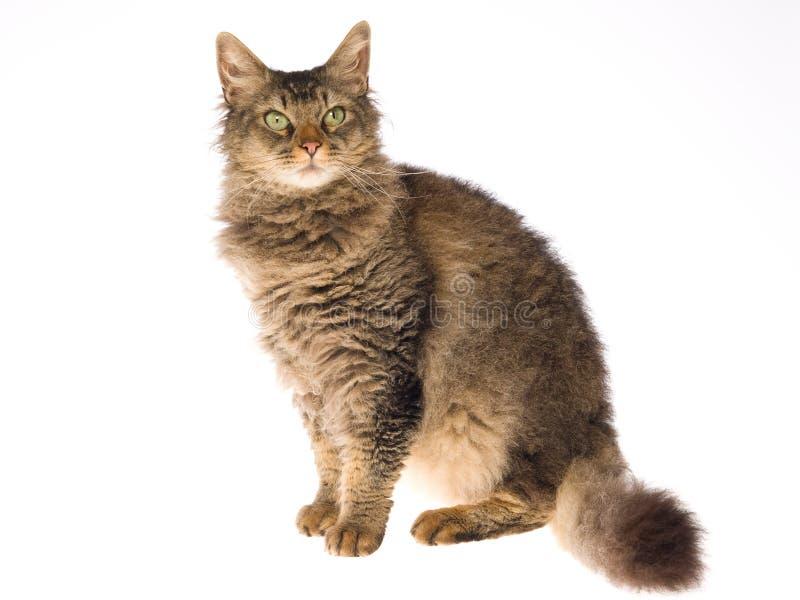 Laperm Katze auf weißem Hintergrund lizenzfreies stockbild