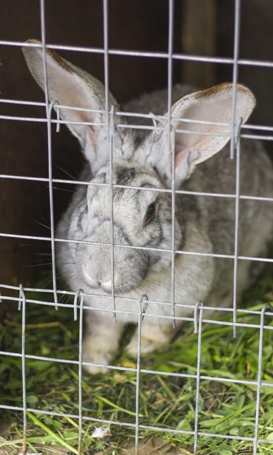 Lapin adulte de gris se reposant dans une cage sur la ferme photographie stock