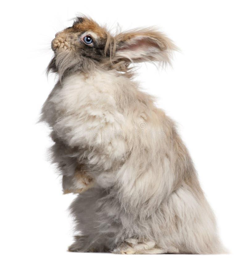 Lapin anglais d'angora devant le fond blanc photographie stock libre de droits