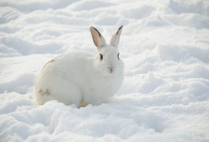 Lapin blanc dans la neige photos libres de droits