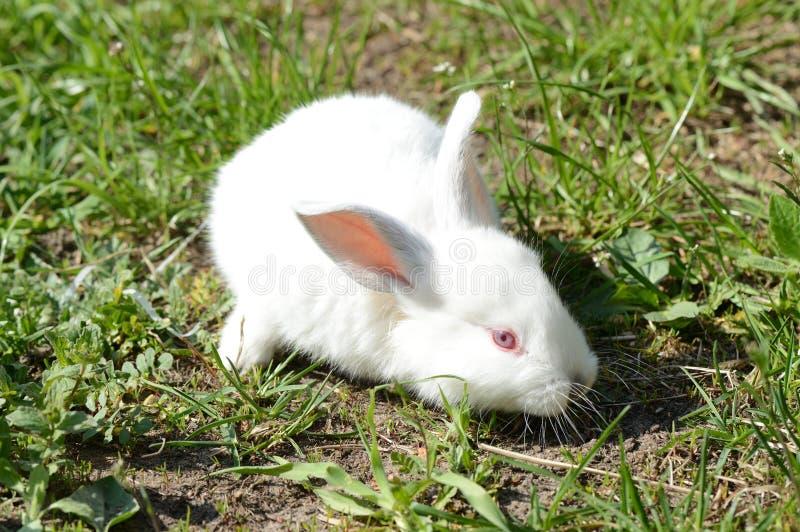 Lapin blanc mignon de bébé sur l'herbe image libre de droits