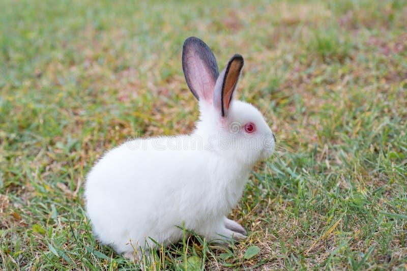Lapin blanc pelucheux avec les yeux rouges, jouant sur l'herbe verte photographie stock libre de droits