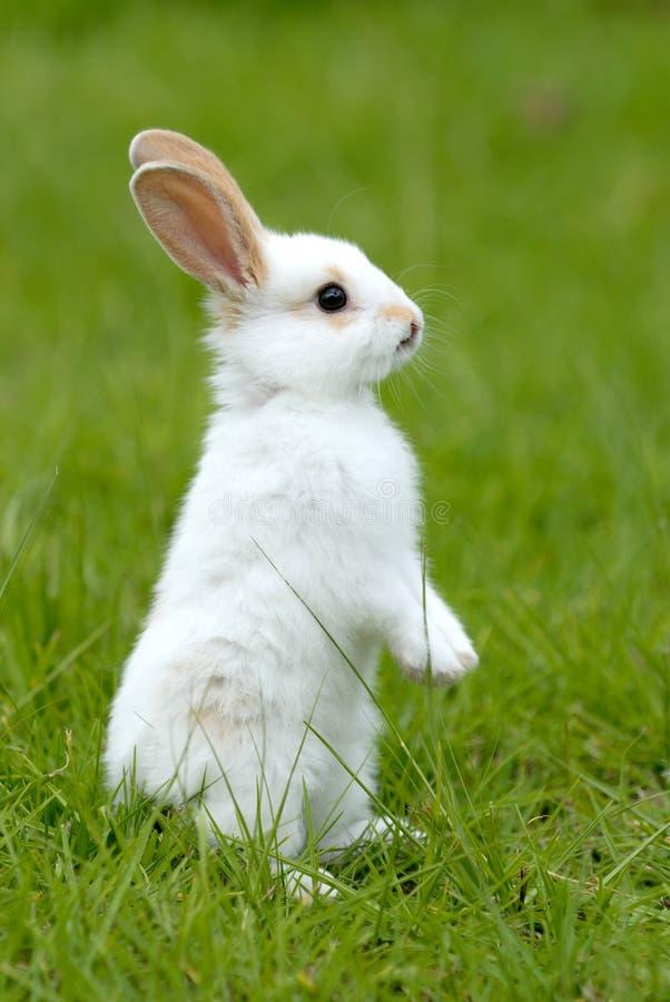 Lapin blanc sur l'herbe photos stock