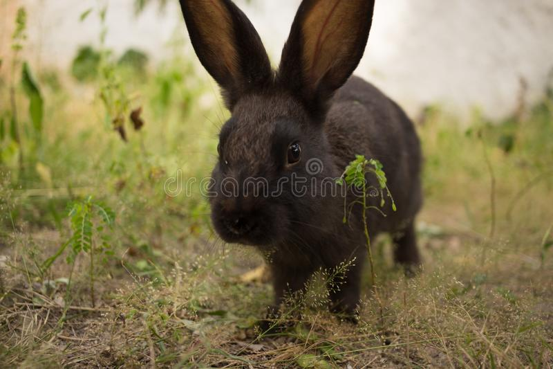 Lapin brun fonc? mignon photos stock