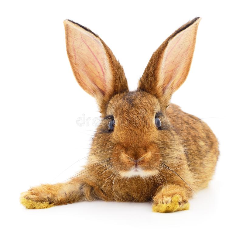 Lapin de Brown sur le blanc photos stock
