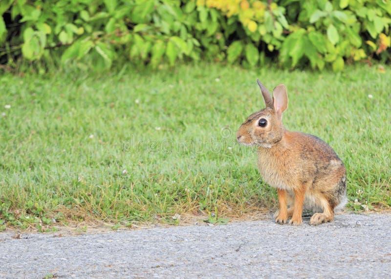 Lapin de lapin photo libre de droits