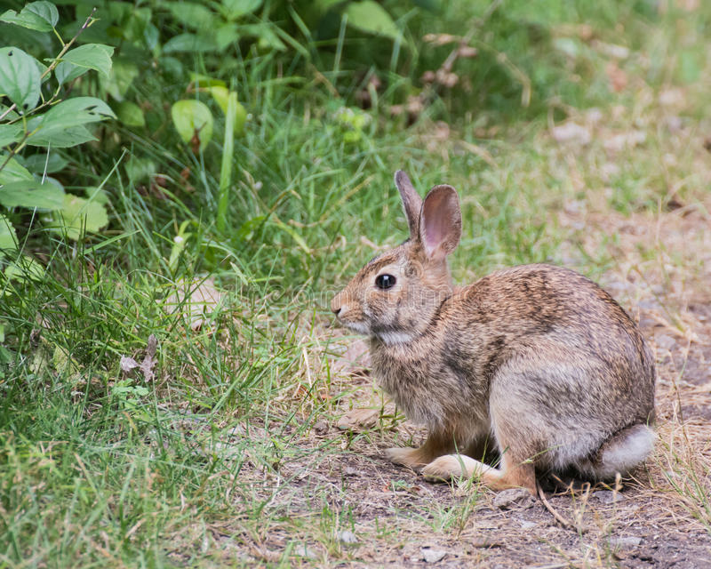 Lapin de lapin sur un chemin images stock