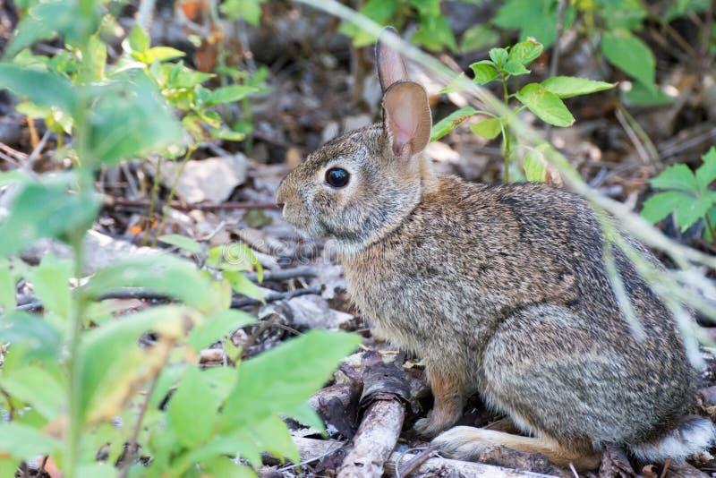 Lapin de lapin sur un chemin image stock