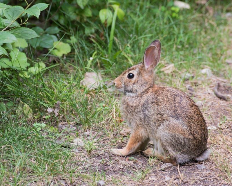 Lapin de lapin sur un chemin photographie stock