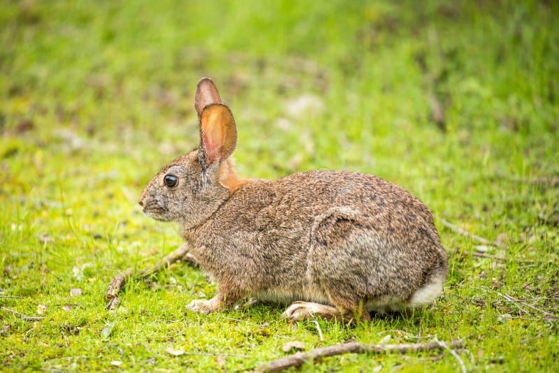 Lapin de lapin - Sylvilagus photos stock