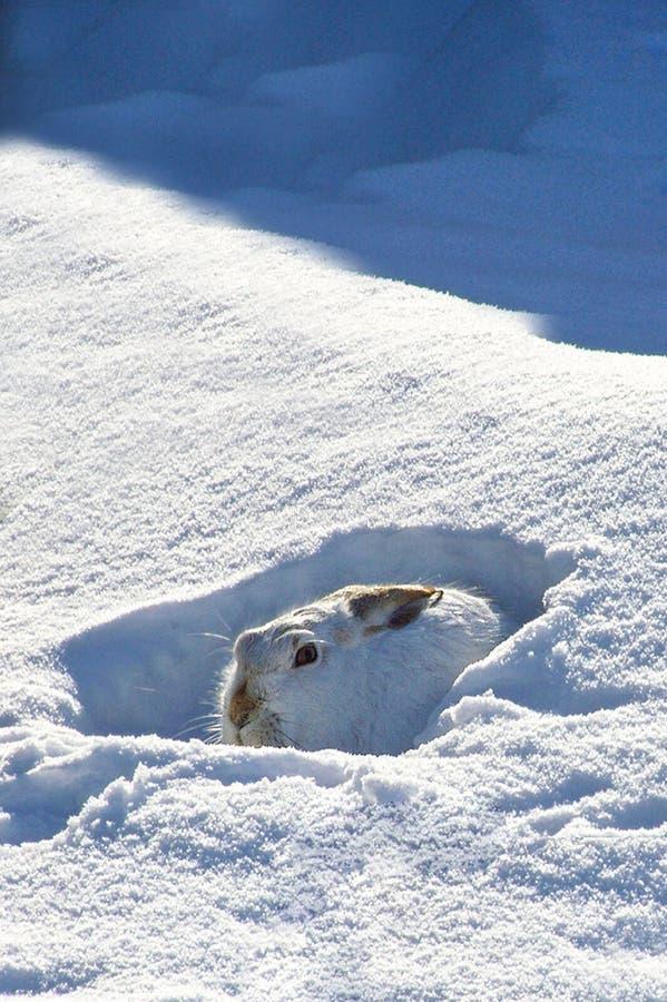 Lapin de neige image libre de droits