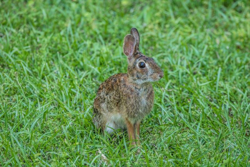 Lapin de lapin oriental dehors photographie stock libre de droits