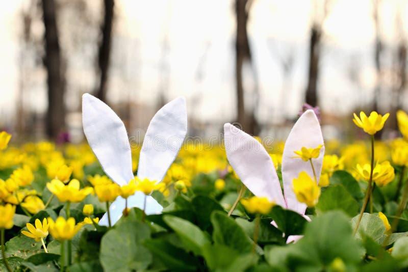 Lapin de P?ques cach? sur un pr? de fleur, fleurs jaunes de ressort sur un pr? d'herbe verte Ressort de concept, li?vre d'oreille image libre de droits