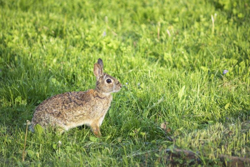 Lapin de ressort d'arrière-cour dans l'herbe photo libre de droits
