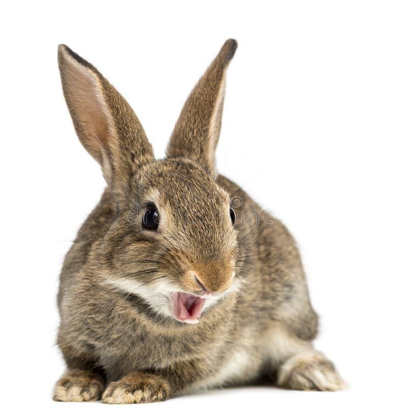 Lapin européen ou lapin de terrain communal souriant, 2 mois, Oryctola photos stock
