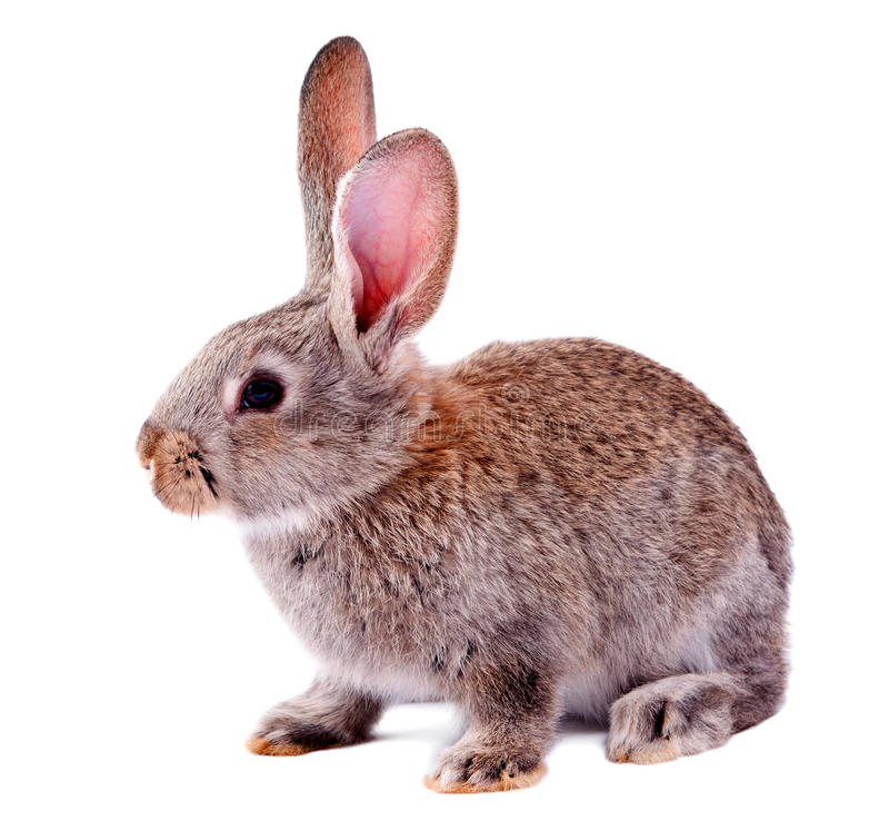 Lapin gris d'isolement photos stock